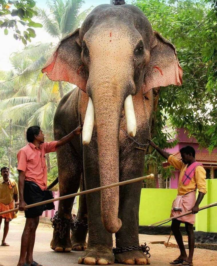 Kerala HC declines to intervene on tusker ban ahead of Thrissur Pooram