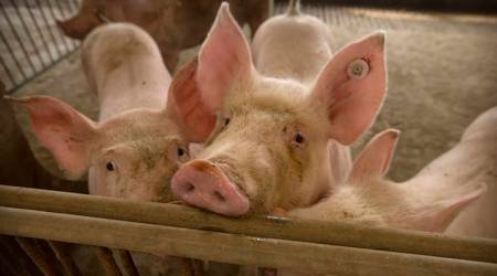 African swine fever outbreak, ASF outbreak, Chandigarh news, Punjab news, Indian express news