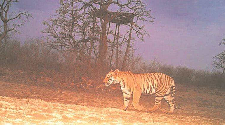 Eight months after maneating tigress was shot dead, her cub gives officials the slip