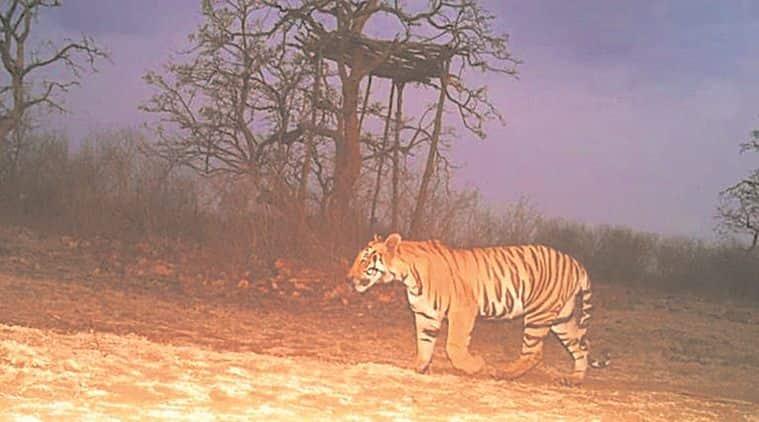 tiger, man eating tiger, maneating tigress killed, tiger killed, Yavatmal forests, maharashtra tiger killed, maharashtra tigress killed