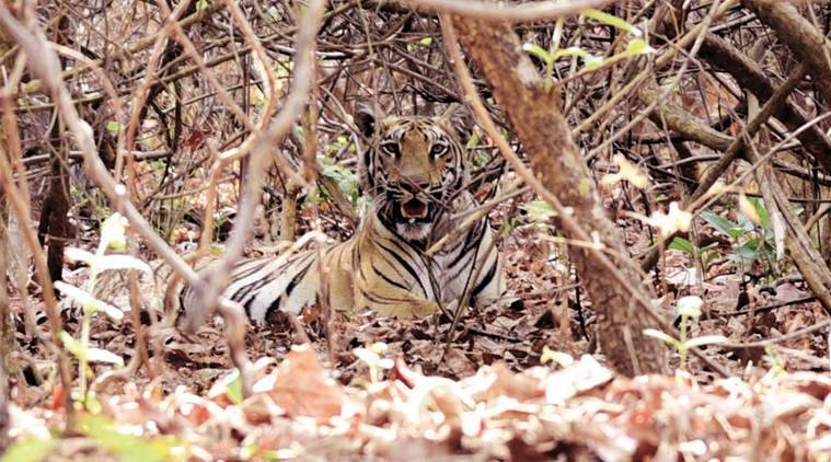 Tiger kills one in Brahmapuri forest in Chandrapur district