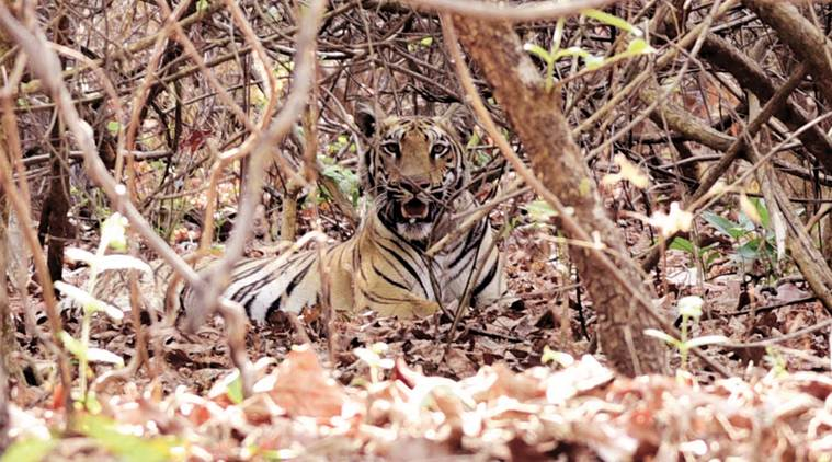 Bandhavgarh tigress to continue in captivity in Odisha as inter state big cat transfer project remains in limbo