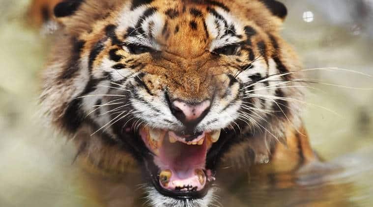 Centre seeks report from Uttarakhand on study revealing tigers killing, eating elephants