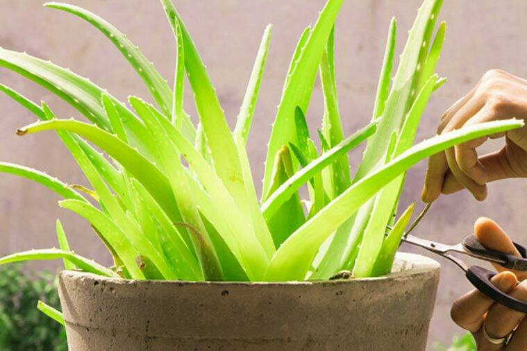 aloe vera, indoor plant. world environment day, world environment day indian express