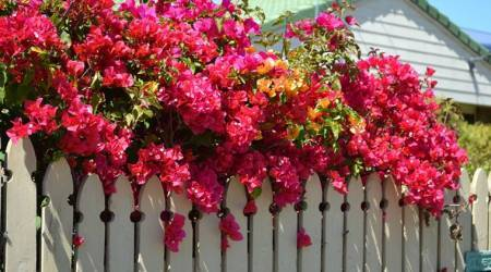 bougainvillea, bougainvillea plant, bougainvillea spring, how to grow bougainvillea