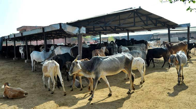 Haryana to prepare data on cattle to further develop breeds