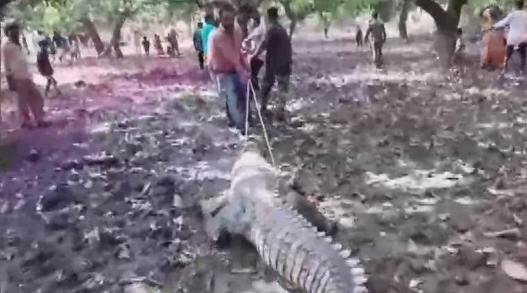 Crocodile enters Gujarat temple, villagers oppose Forest department's rescue efforts