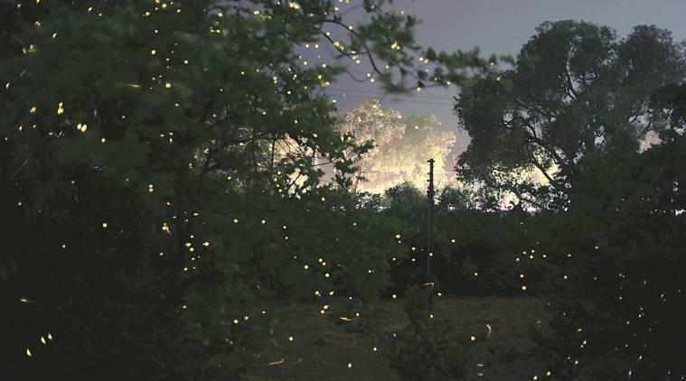 Mumbai, Mumbai News, fireflies, mumbai weather, Nature Information Centre, Sanjay gandhi park, India News, Indian Express