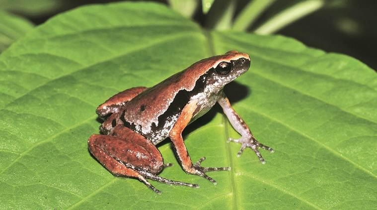 DU scientists discover frog in Assam, name it after Northeast