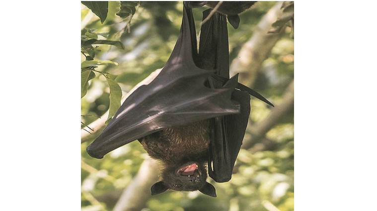 Explained: Suspected source of Nipah in Kerala, how is the fruit bat different from other bats?