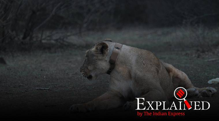 lions in gujarat, lions in gir forest, lions in gujarat forest, gir national forest, lions radio collar, radio collar on lions, gujarat forest department, what are radio collars, why are radio collars put on lions