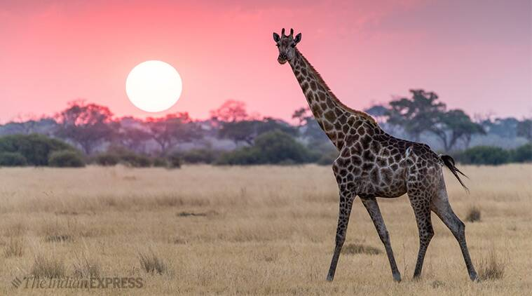 World Giraffe Day 2019: How a giraffe's kick can behead a