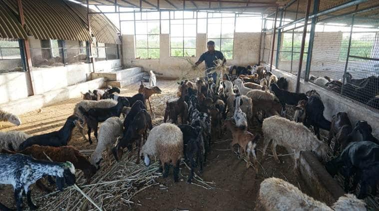 Vadodara goat mandi, Surat goat mandi, Surat bakri mandi, Vadodara bakri mandi, India news, Indian Express