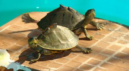 mumbai turtles, man arrested with turtles, indian tent turtles, roofed turtles, tent turtles, turtles in mumbai, mumbai news, Indian Express