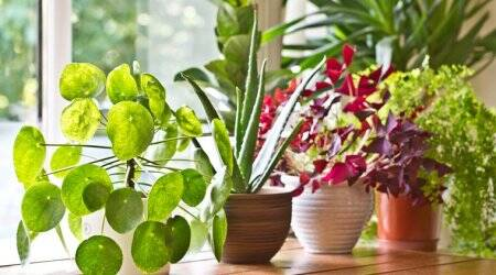 indoor plants, air pollution, world environment day, world environment day 2019, indian express