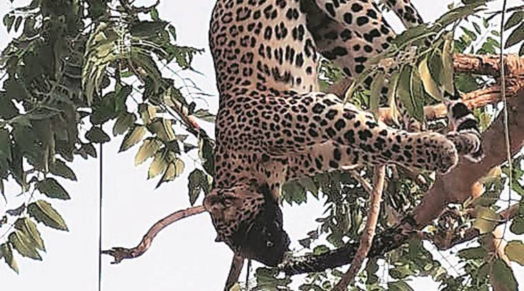 Electrocuted in Gurgaon, 2-year-old leopard found dangling on a tree
