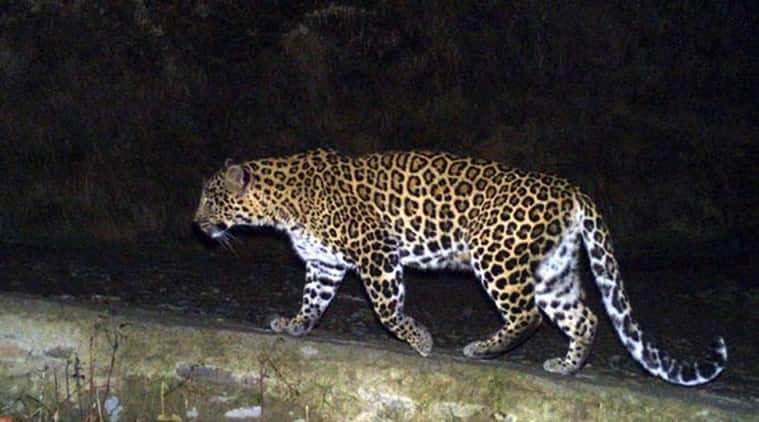 mumbai, leopard spotted, leopard spotted in thane, leopard, thane leopard spotted, forest, forest officials, mumbai news, indian express news