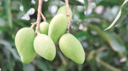 mango, green mango, mango variety, summer fruit, indian express, indian express news