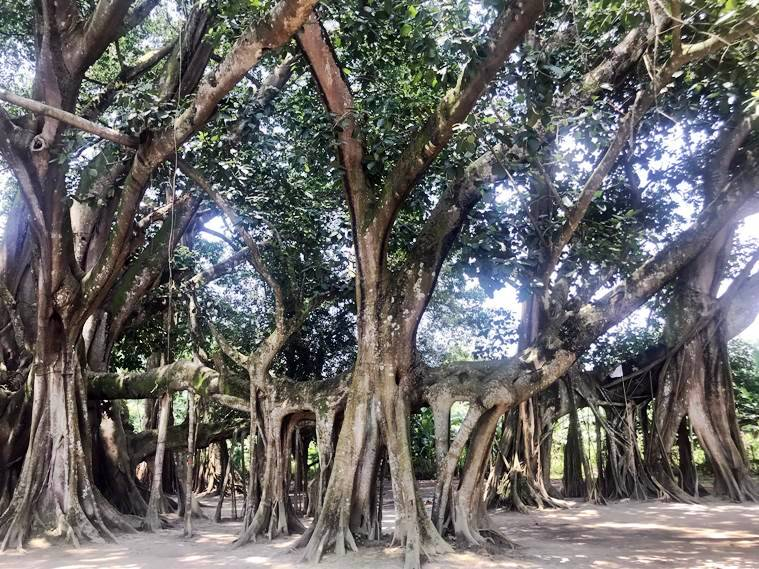 Assam, Assam banyan tree, assam 207 year old banyan tree, assam tree birthday, assam news, assam tree happy birthday, assam banyan tree video