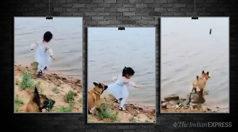 dog saves girl, dog saves girl from falling, dog viral video, trending, dog and girl, dog girl video