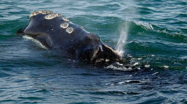 Japan G20 summit, G20 summit, Commercial whaling in Japan, Assault on whales, Protection of whales, International Whaling Commission, IWC, World news, Indian Express
