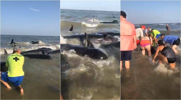 whales stranded on beach, pod of whales beached, pilot whales, pod of whales Georgia beach, beachgoers help stranded whales, viral videos, indian express, good news