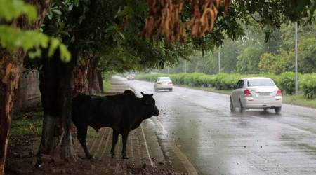 mohali news, mohali stray cattle problem, Kharar MC stray cattle problem, punjab news, chandigarh city news