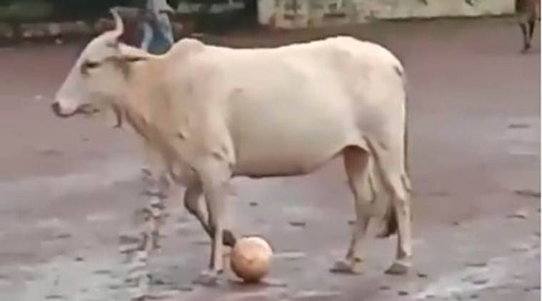 cow football, cow playing football, cow football video, cow playing football video, cow football viral video, panjim, goa club, mardol ground, goa news, panjim news, cow football news, indian express