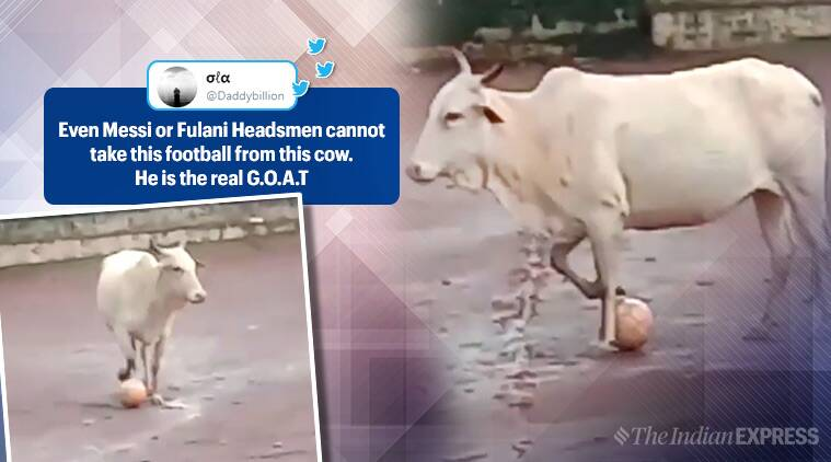 cow playing football, cow football video, funny animal videos, animals football video, goa cow football video, viral video, indian express