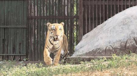 Delhi zoo, oldest tiger dies, coronavirus test, Delhi news, indina express news