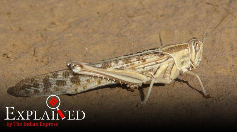 Explained: What are locust attacks, and how does India tackle them?