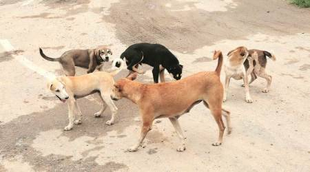 maharashtra news, dogcatchers, dogcatchers bitten by dogs, Bhokardan Municipal Council, stray dogs, stray dogs menace