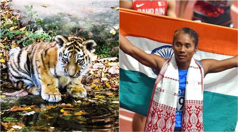 hima das, world tiger day, hima das gold medals, hima das tiger cub, Bannerghatta Biological Park, Bannerghatta Biological Park hima das cub, royal bengal tiger, Bengaluru news, indian express
