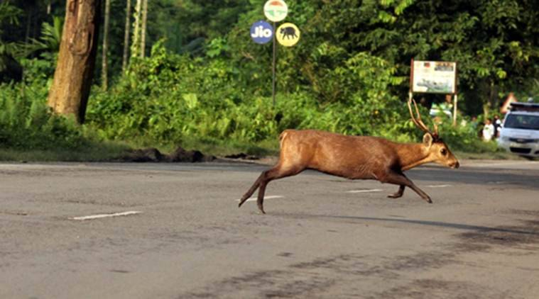kaziranga national park, assam hog deer, assam hog deer killed, hog deer road accident assam, wildlife trust india, kaziranga news