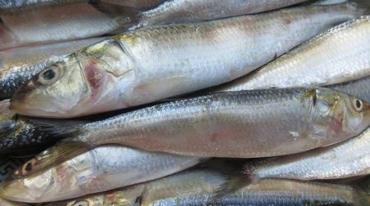 Over 50 Drop In Oil Sardine Catch From Indian Coasts In