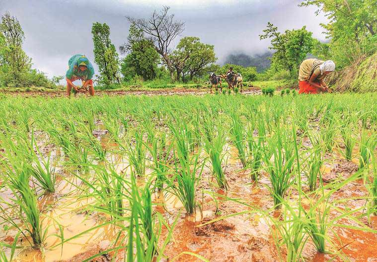 Tripura agriculture, paddy cultivation tripura, land used for paddy to grow maize, Tripura farmers income, Tripura news, indian express