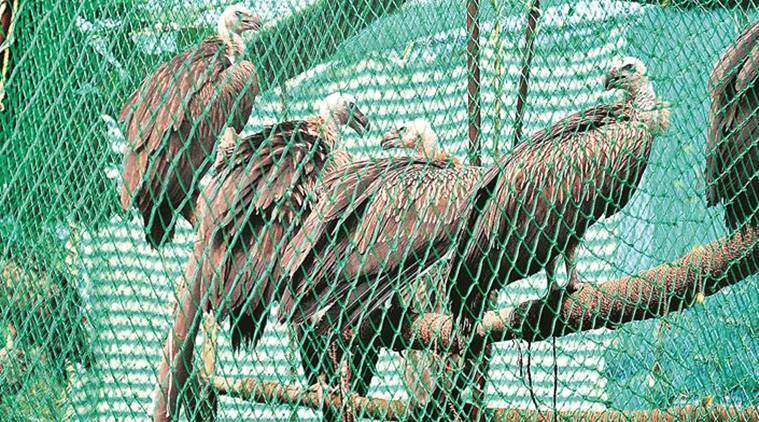 Pinjore centre to study impact of painkiller for animals on raptors