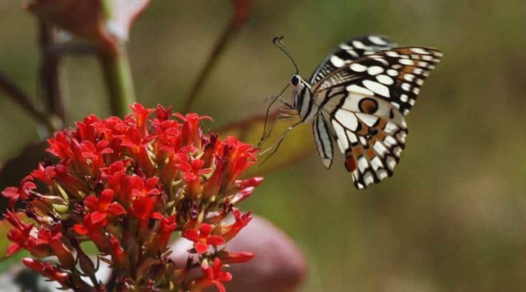 process of becoming butterflies, catterpillars becoming butterflies, how catterpillers become butterflies, indian express, indian express news