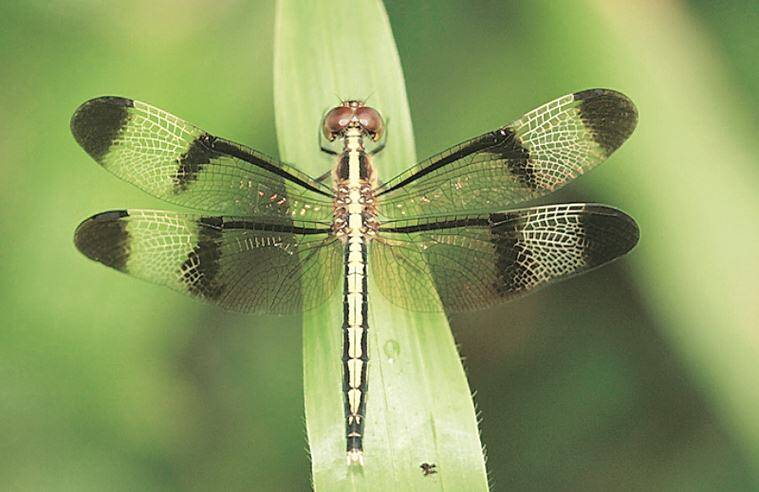 dragonflies, dragonflies in india, types of dragonflies, types of dragonflies in india, dragonfly catching, art and lifestyle, Indian Express