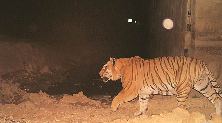 Animal underpasses on Maharashtra highway a life-saver, tigers turning out to be regular users