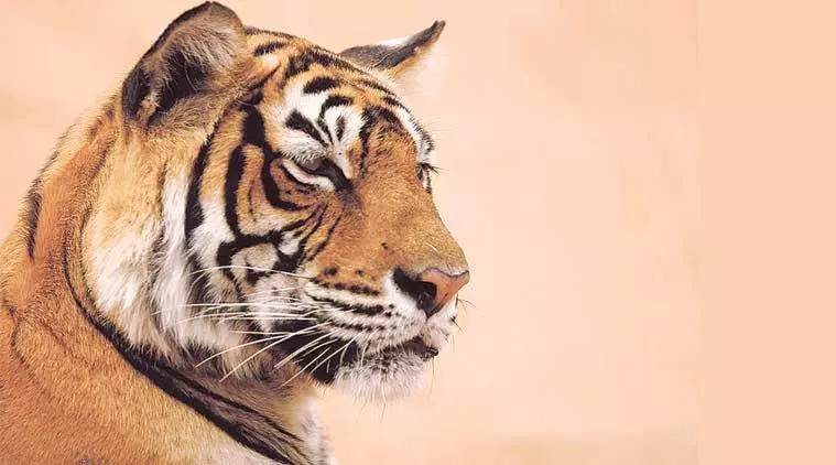 Over-reporting of tigers: Questioned, officials rush to amend but holes remain