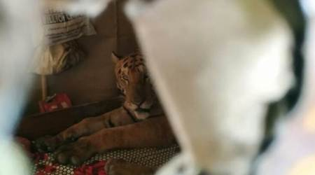 'Assam floods bring in unusual visitor': Kaziranga tiger takes shelter in home amid rain