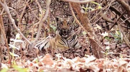tiger conservation, tiger number, tigers camera traps, tiger, tiger population in india, tigers in india, project tiger, tiger conservation in india, india tiger population, Indian express