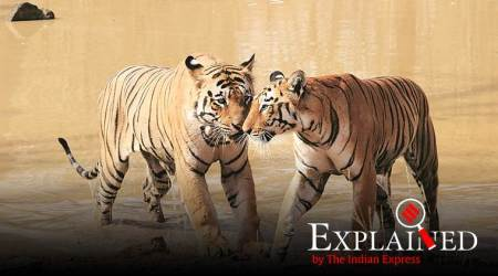 tiger numbers, tiger count, tiger numbers decline, Tigers in India, tiger count explained, indian express