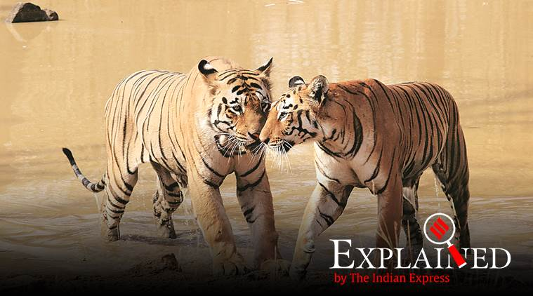 tiger numbers, tiger count, tiger numbers decline, Tigers in India, tiger count explained, tiger census, indian express