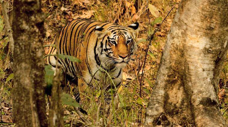 Nagpur tiger reserve, Nagpur tigers, Nagpur forest officials, Nagpur forest department, India news, Indian Express