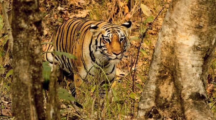 tiger, tiger count, world tiger day, tiger census, narendra modi, tiger number, tiger reserves, tiger numbers increase, indian express