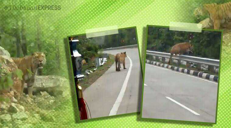 tiger crossing highway, pench tiger reserve, nh7, tiger crossing nh7, tiger crossing nagpur highway, nh7 extension debate, viral videos, indian express