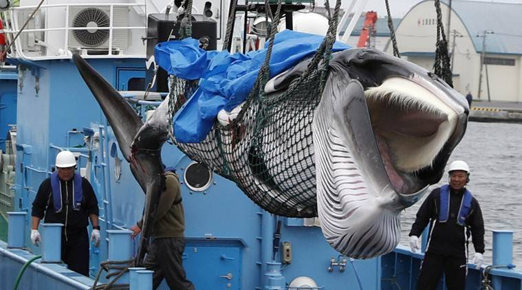 Japanese whalers bring home 1st commercial catch in 31 years