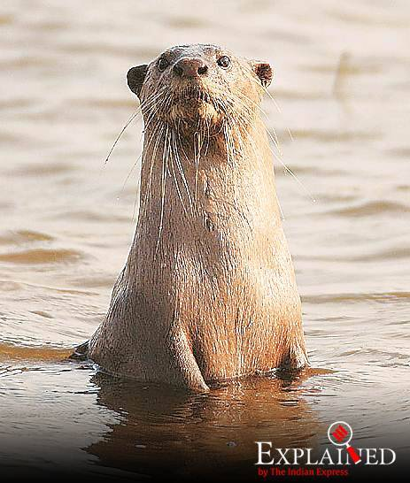 International protection for 'cute' otters: what is CITES, what does it do?